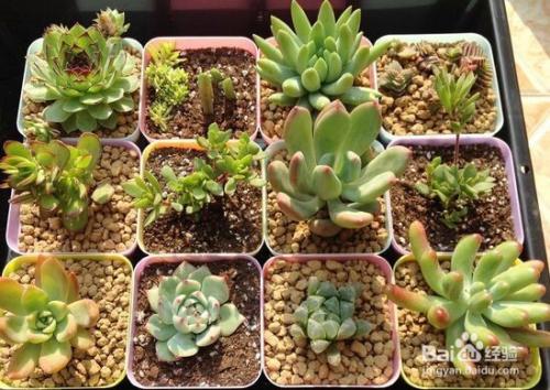 多肉植物星兜的繁殖方式图片