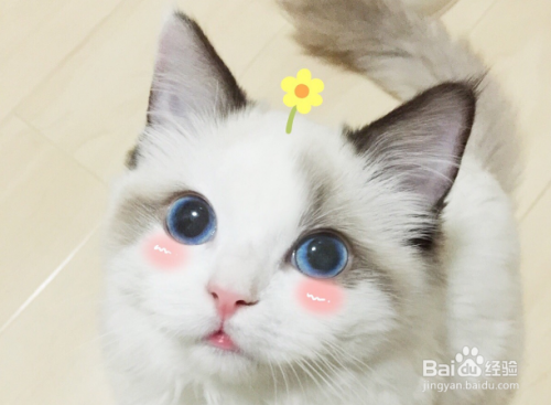 布偶猫养图片