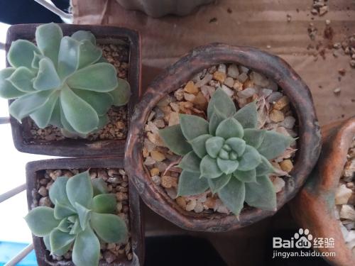 多肉植物蓝石莲图片图片