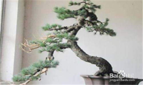 五针松盆景巧养护图片