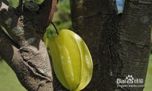 杨桃种子可以种吗图片