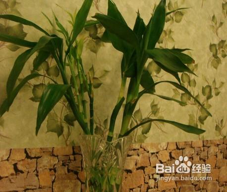 水养富贵竹养殖方法