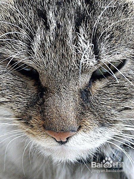 猫咪肝炎的原因图片