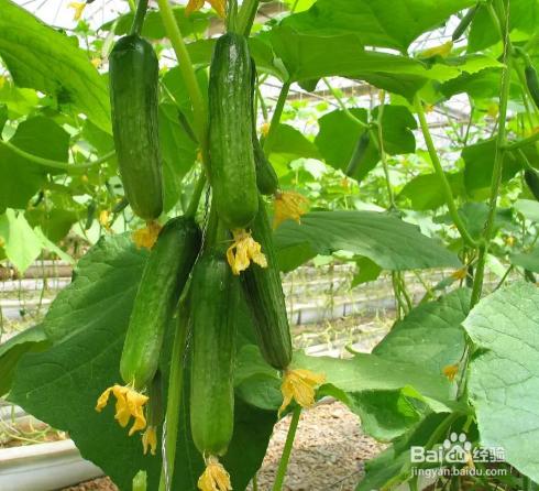 天天吃黄瓜可以减肥吗图片