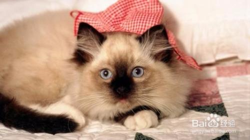 怎么判断猫咪怀孕多久图片