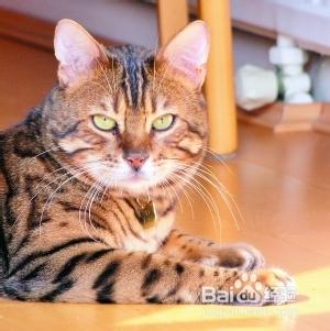 猫咪脂肪肝怎么治疗图片