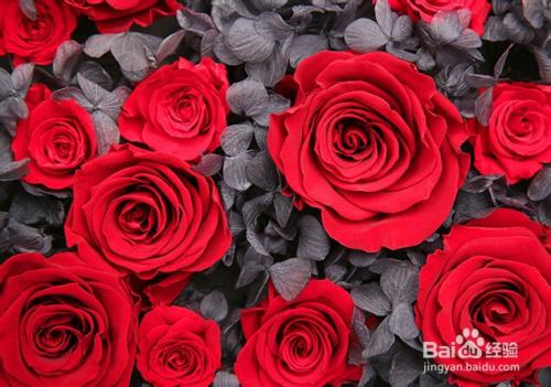 红玫瑰花语及传说图片
