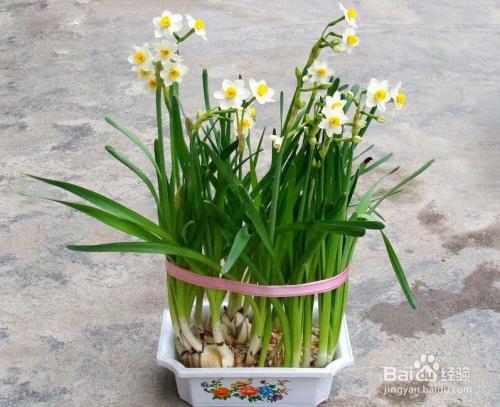 水仙花的食用方法图片