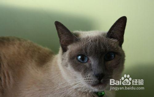 暹罗猫价格多少钱一只图片