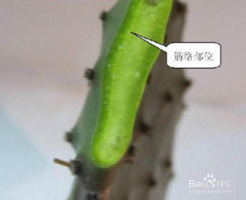 嫁接蟹爪兰的养殖方法图片