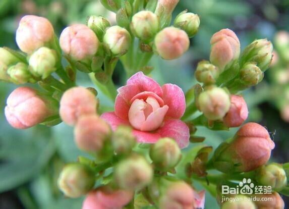 怎么养好sunbet登岸长寿花