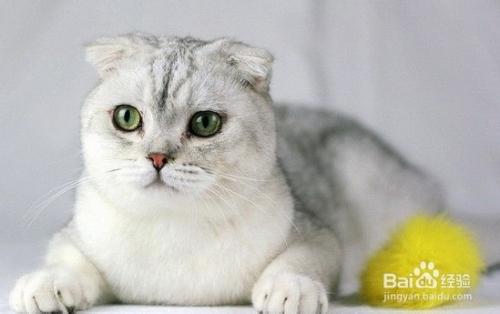 苏格兰折耳猫图片