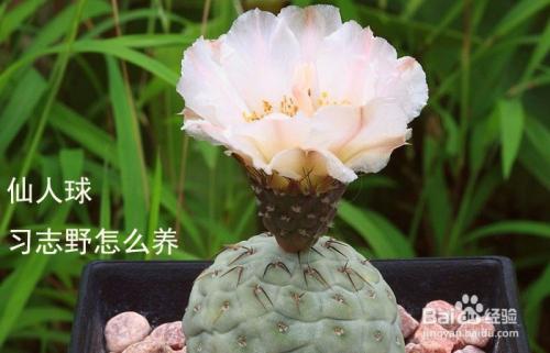仙人球蓬莱宫的养护图片