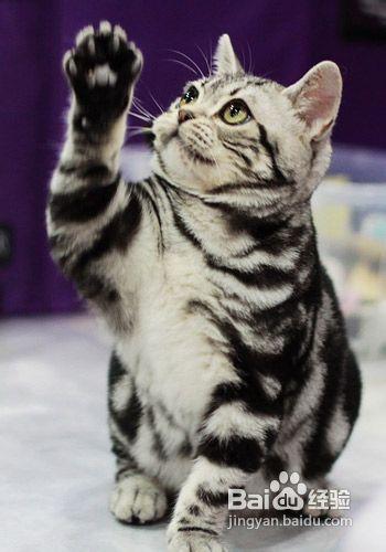异国短毛猫能活几年图片