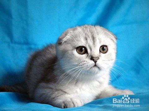 苏格兰折耳猫价格图片