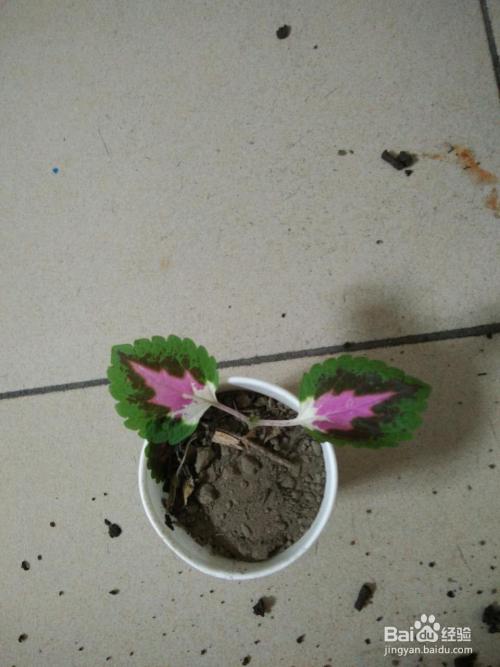 彩叶草的扦插方法图片