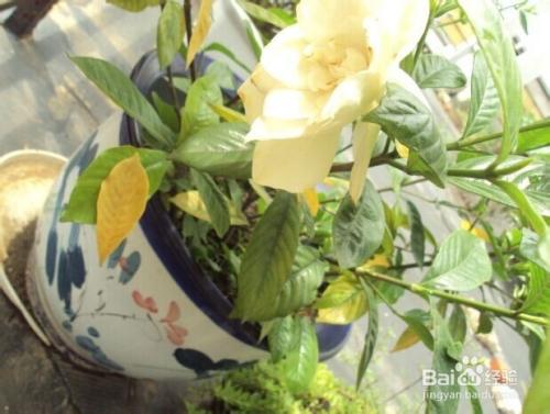 栀子花怎么养开花好图片