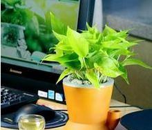 绿萝的功效和作用简单说说图片