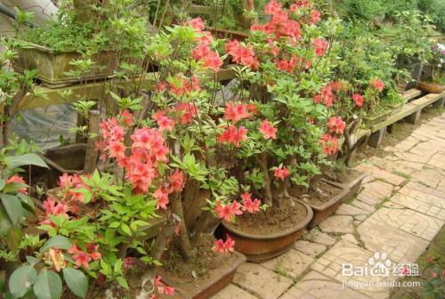 松红梅花期多久图片