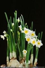 水仙花无土栽培图片