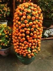 春节期间开花的盆栽图片