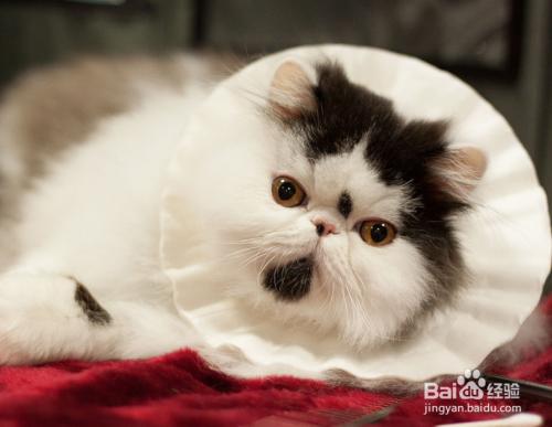 喜马拉雅猫头像图片