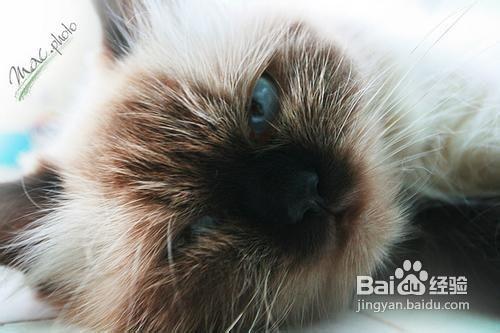 暹罗猫怎么训练上厕所图片