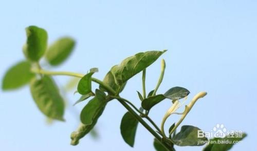 金银花烂叶子是什么原因图片