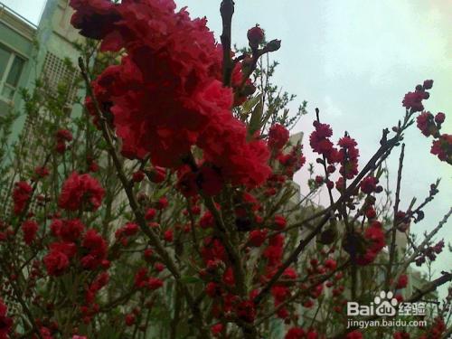重瓣樱花的果可以吃吗图片