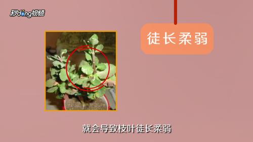 玉树黄叶是什么原因图片