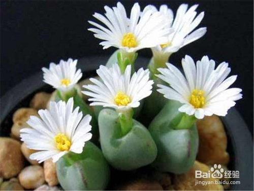 多肉植物生石花盆景图片