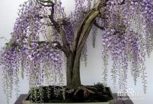 紫藤盆景图片图片