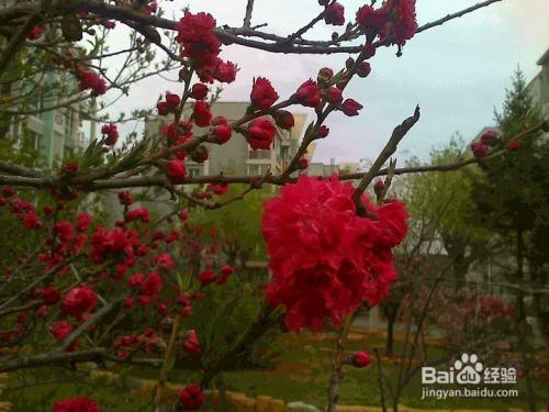 重瓣樱花的读音图片