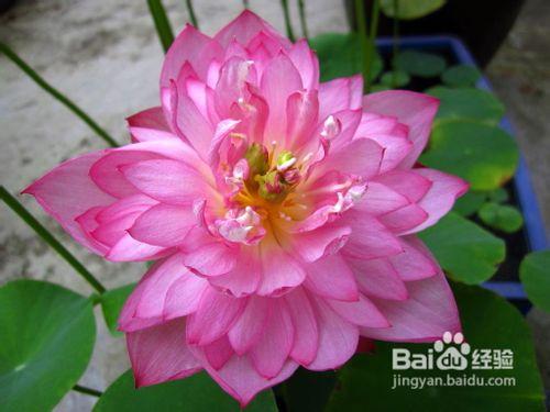 碗莲种植方法