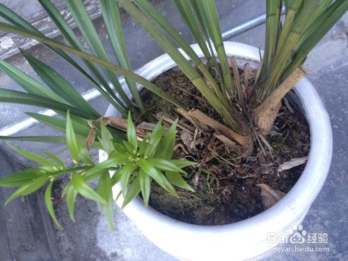 蚌兰花的品种大全图片