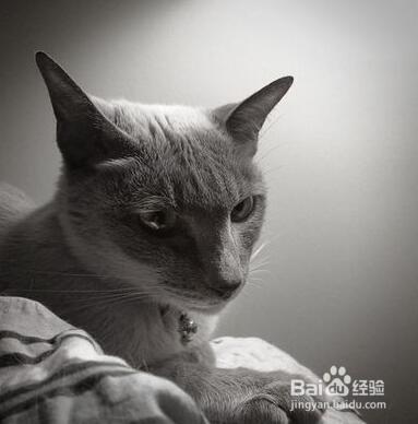暹罗猫能和人睡觉吗图片