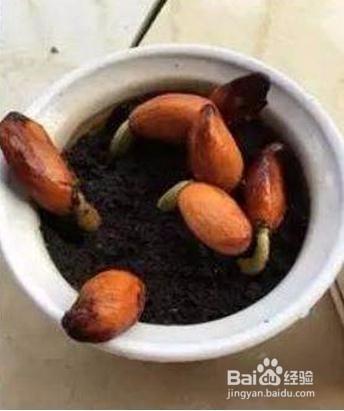 榴莲种子图片