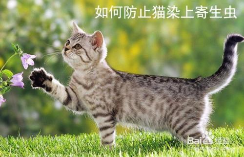 猫咪为什么会感染绦虫图片