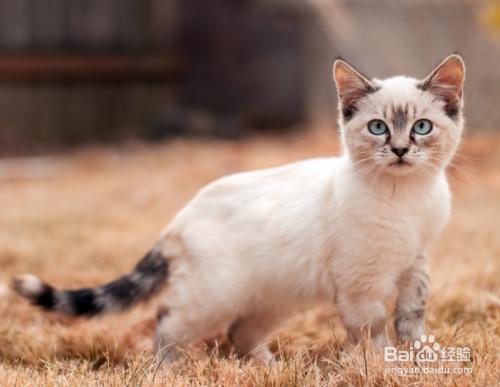 喜马拉雅猫多少钱图片