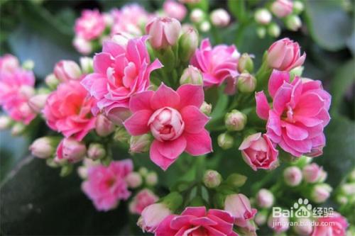长寿花怎么养图片