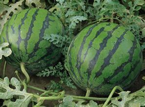 夏季常吃的几种主食小吃  水果 第5张