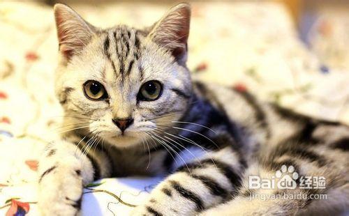美国短毛猫幼崽价格图片