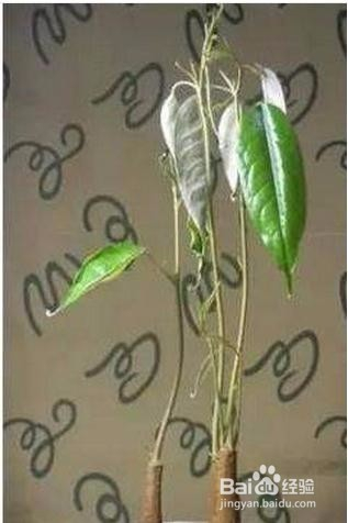 榴莲种子发芽生长图片图片