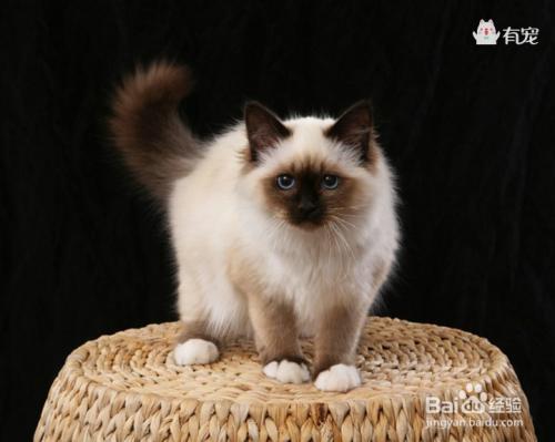 伯曼猫和暹罗猫图片图片