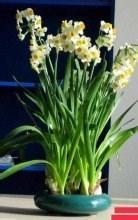 春节金吉盆栽图片图片