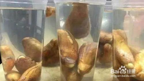 榴莲种子发芽后怎么种图片