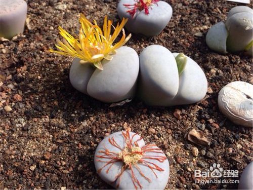 多肉植物生石花图片图片