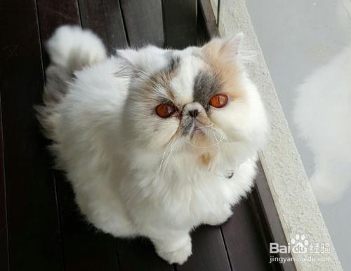 喜马拉雅猫价格多少钱一只图片