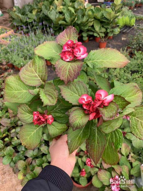 八仙花的养殖图片