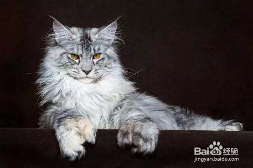 缅因猫多少岁成年图片